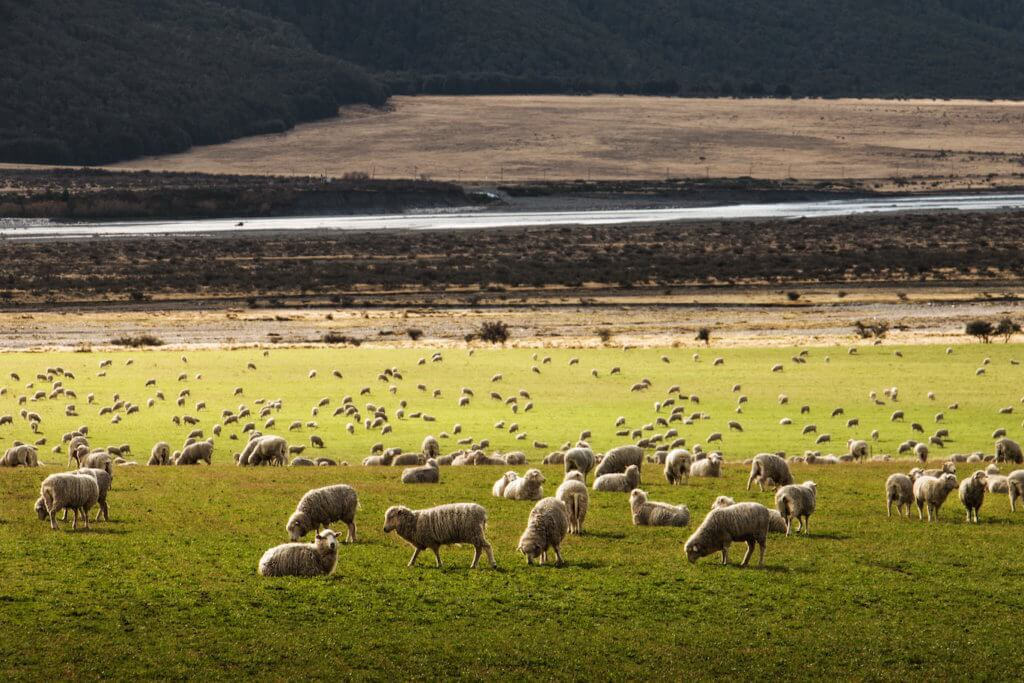 Image of merino sheep grazing